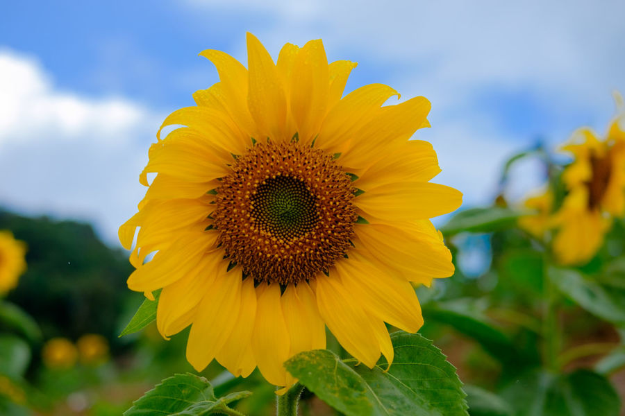 Mon-Jam Chiang Mai, Thailand. Chiang Mai | Thailand Monjam Beauty In Nature Blooming Close-up Day Field Flower Flower Head Focus On Foreground Fragility Freshness Growth Nature No People Outdoors Petal Plant Sky Sunflower Yellow