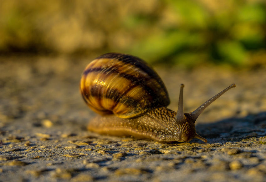 Animal Animal Antenna Animal Body Part Animal Shell Animal Themes Animal Wildlife Animals In The Wild Boredom Close-up Crawling Day Gastropod Insect Invertebrate Mollusk Nature No People One Animal Outdoors Selective Focus Shell Snail Surface Level