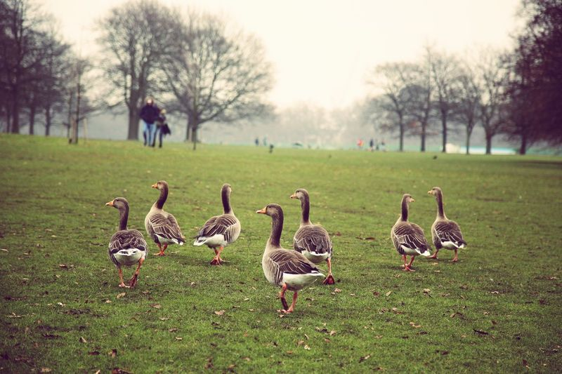 EyeEmNewHere EyeEm LOST IN London EOS 6D EF 24-105mm London Hyde Park Animal Themes Goose Landscape Bird Animal Grass Group Of Animals Animals In The Wild Animal Wildlife Nature Duck Green Color No People