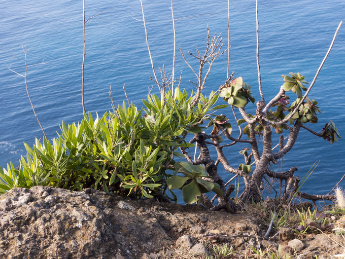 Plants on the egde of the cliff at Ponta do Pargo on the west coast of Madeira, Portugal. Water Plant Nature Day No People Growth Beauty In Nature Land Tranquility Outdoors Flower Ponta Do Pargo Madeira Atlantic Ocean Cliff Coastline Herbivorous Leaves Shrub Edge Of The World Environment Sea Sunlight Branch