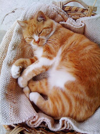Domestic Cat Domestic Animals Pets One Animal Animal Themes Mammal Feline High Angle View No People Indoors  Relaxation Basket Lying Down Ginger Cat Full Length Day Pet Portraits