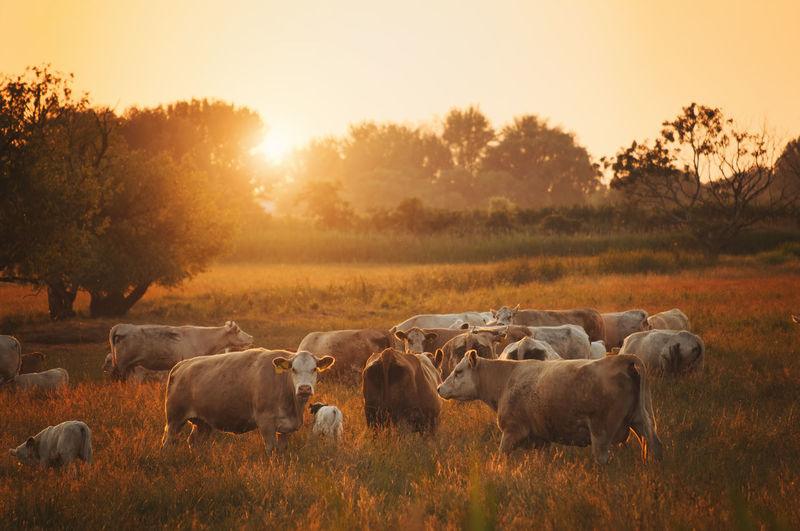Cow with calves on grassy field during sunset