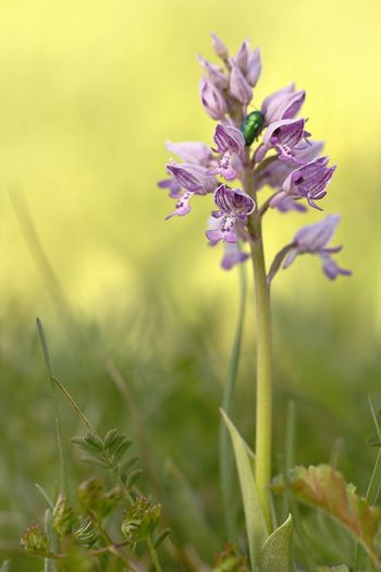 Orchis militaris, wild Orchid Beauty In Nature Close-up Day Field Flower Flower Head Flowering Plant Focus On Foreground Fragility Freshness Green Color Growth Inflorescence Nature No People Outdoors Petal Plant Plant Stem Purple Selective Focus Sepal Vulnerability