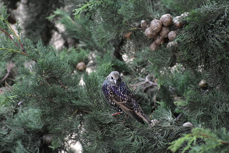 High angle view of starling bird perching on pine tree