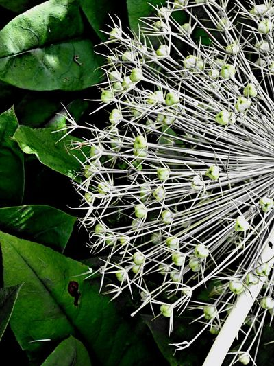 YOUR MIND IS A GARDEN. YOUR THOUGHTS ARE THE SEEDS. YOU CAN GROW FLOWERS OR YOU CAN GROW WEEDS. Allium Seed Head Leaf Green Color Beauty In Nature Nature No People Day Close-up Outdoors Freshness Wonderful Nature Fragility Beauty In Nature EyeEm Nature Lover