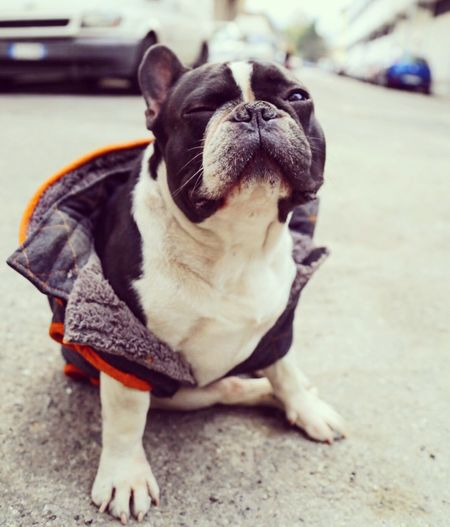 TheLazy dog Francebulldog Dog One Animal Animal Themes Domestic Animals French Bulldog France Bulldog Bulldog Dog❤ Dog Life Foolish Firenze Italy Piggy Simpática  Day Pets Relaxing Enjoying Life Hello World