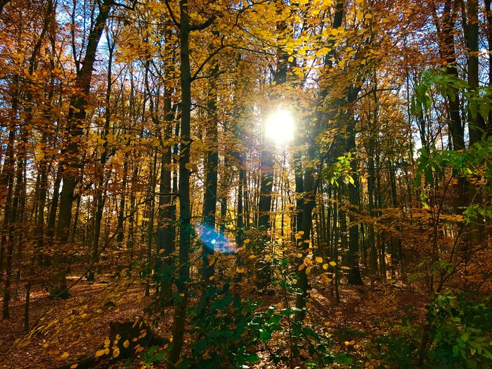Herbstwald Blätter Wald Herbstwald Herbststimmung Herbst Tree Plant Beauty In Nature Growth Low Angle View Sunlight Nature No People Tranquility Outdoors Sun Scenics - Nature Illuminated Day Backgrounds Land Forest Lens Flare Sunbeam Sky
