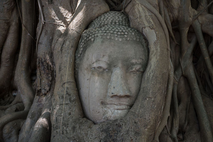 Amazing Big Old Stone Buddha head in the Tree in ancient remains , Thailand Accient Amazing Ayutthaya BIG Buddha Buddha Statue Buddha Temple Buddhism Old Roof Roots Of Tree Stone Thailand Tree
