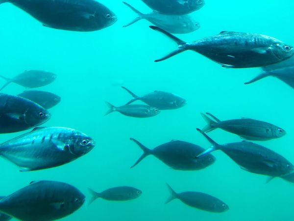 Diving deep with fishes Fish Underwater Large Group Of Animals Animals In The Wild Swimming UnderSea Sea Life Animal Themes Nature No People Sea Water Day Outdoors Ocean Blue Fishes