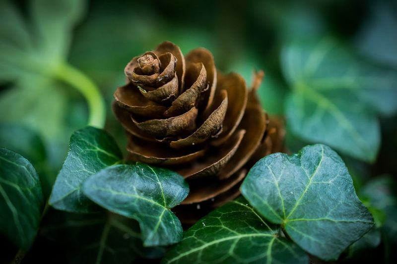 Leaf Nature Green Color Close-up No People Plant Outdoors Day Beauty In Nature Fragility Freshness Pinecone