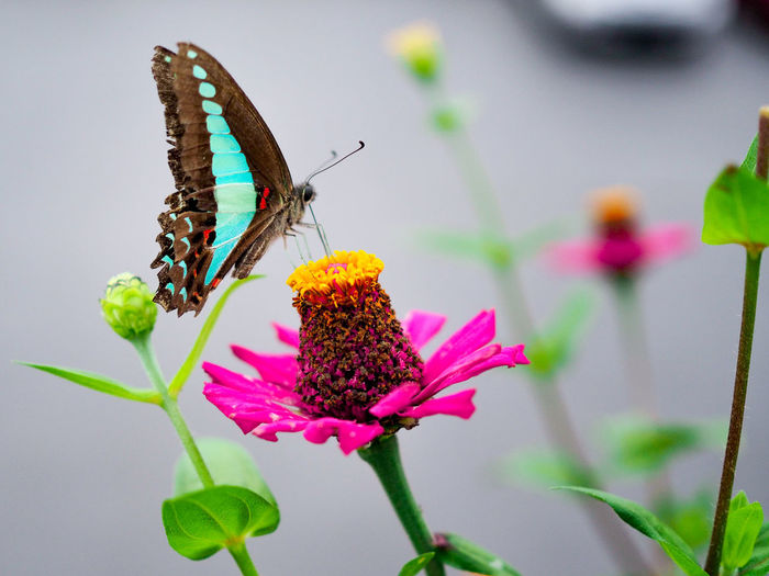 Flower Head Flower Perching Full Length Pollination Butterfly - Insect Zinnia  Leaf Insect Petal