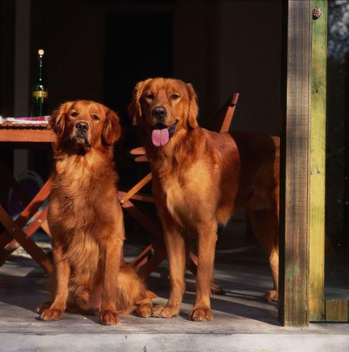 Dog Animal Pets