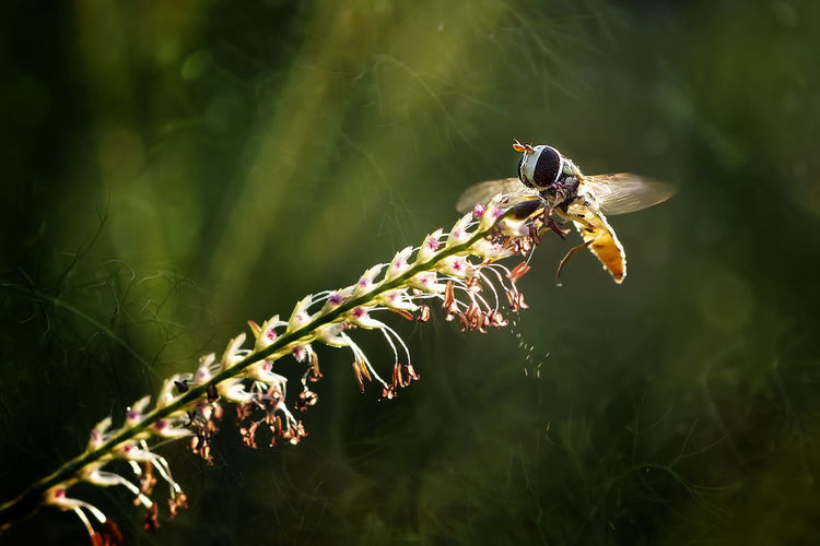 Flying Hoverfly - Macro Photo Collections