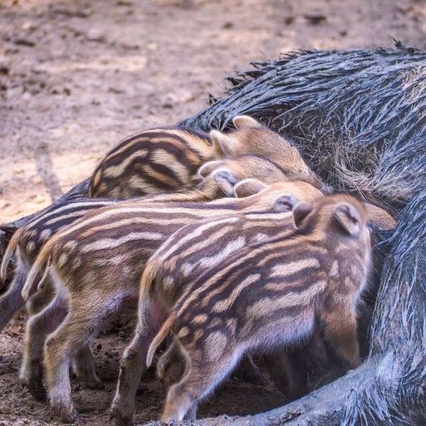 Wildlife Wild Wildschwein Wildlife & Nature Schwein Hildesheim Germany Frischlinge Baby Hunger