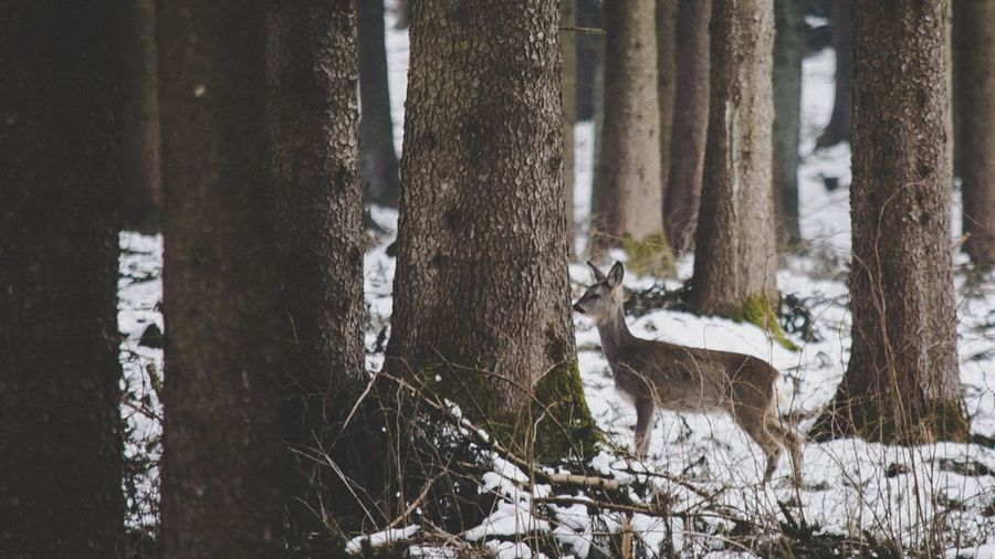 Deer 16x9 Germany Deutschland Bayern Bavaria Neuulm Ulm Cold Cold Temperature Cold Weather Cold Days White White Background Deer Doe Forest Forest Photography Forest Trees Winter Winter2018 Animals In The Wild Animals Animal Trees Nature