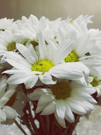 Chamomilla Flower Petal Nature Beauty In Nature Fragility Plant No People Flower Head Freshness Growth Blooming Close-up Day