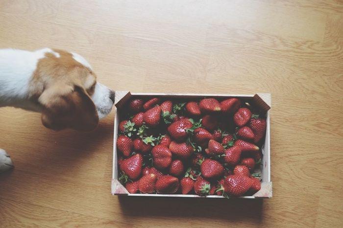 Beagle Dog Fraises