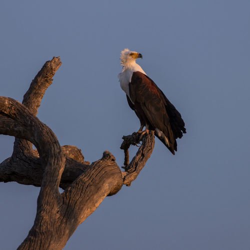 African Fish Eagle on a perch late in the afternoon South Africa African Fish Eagle Animal Animal Themes Animal Wildlife Animals In The Wild Bird Bird Of Prey Branch Clear Sky Day Eagle Fish Eagle Krüger National Park  Low Angle View Nature No People One Animal Outdoors Perching Plant Sky Tree Vertebrate