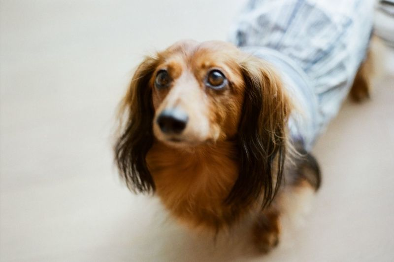 my girl :) Animal Themes Believeinfilm Brown Close-up Cute Dachshund Dauchshund Day Dog Domestic Animals Film Photography Filmisnotdead Happy Indoors  Mammal No People One Animal Pets Portrait Sweet