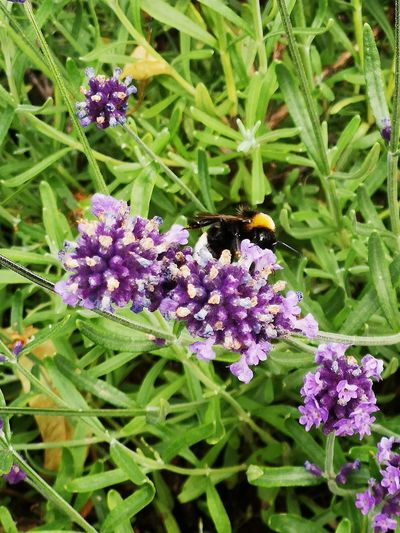 Bee pollinating on purple flowering plants