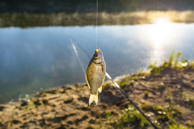 Crucian fish caught on bait by the lake, hanging on a hook on a fishing rod, sunny morning.