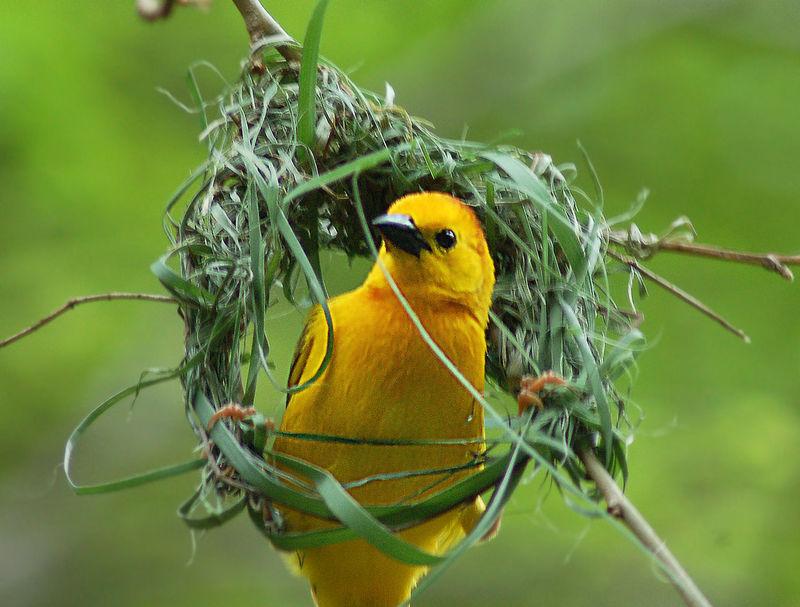 Animal Themes Animal Wildlife Animals In The Wild Bird Building A Nest Close-up Day Little Bird Nature One Animal Weaverbird Yellow Yellow Bird EyeEmNewHere Art Is Everywhere