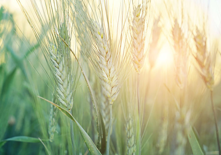 Close-Up Of Wheat Growing At Farm