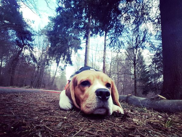 Dog One Animal Pets Animal Themes Close-up No People Nature Outdoors Domestic Animals Tree Day Beagles  Beagleoftheday Beagles  Beagles  Beagle Dog Beagle Beaglelove Beagles  Forestphotography Forest EyeEmNewHere