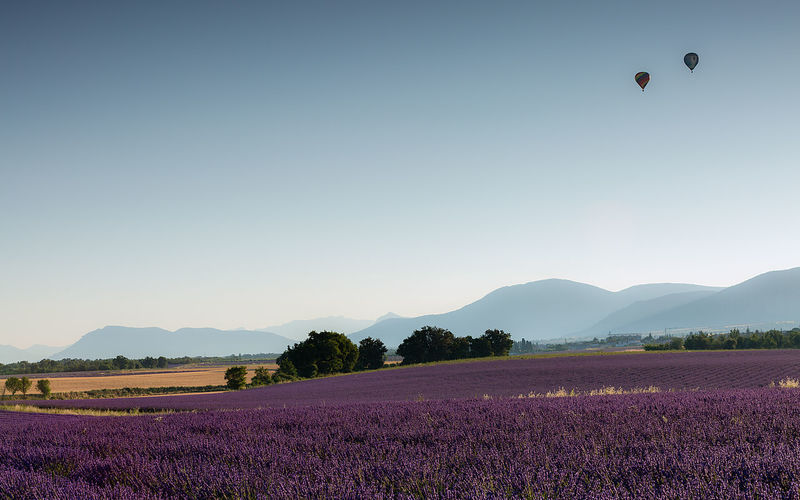 Scenic View Of Lavender Field Against Clear Sky