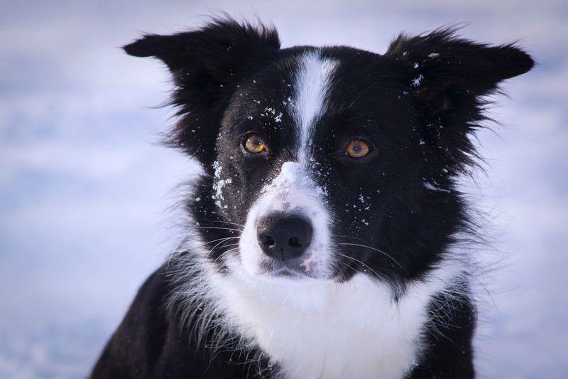 Domestic Animals Pets Dog One Animal Animal Themes Border Collie Portrait