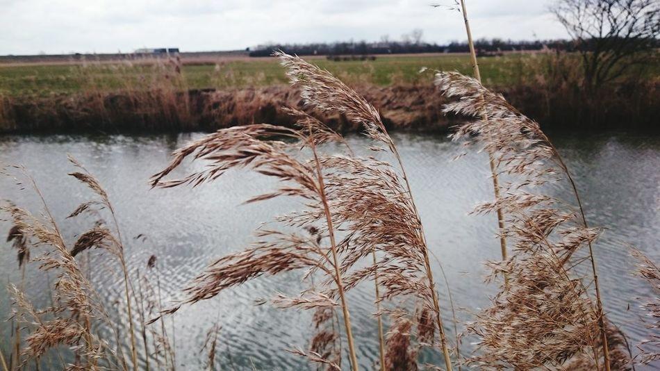 Reed Reed At The Flow Flowing Water Windy Day :) EyeEm Nature Lover EyeEm Best Shots - Nature EyeEm Germany