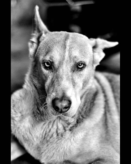 One Animal Dog Canine Animal Themes Mammal Domestic Domestic Animals Pets Animal Vertebrate Looking At Camera Portrait Close-up No People Transfer Print Animal Body Part Auto Post Production Filter Focus On Foreground Indoors  Relaxation Animal Head  Weimaraner