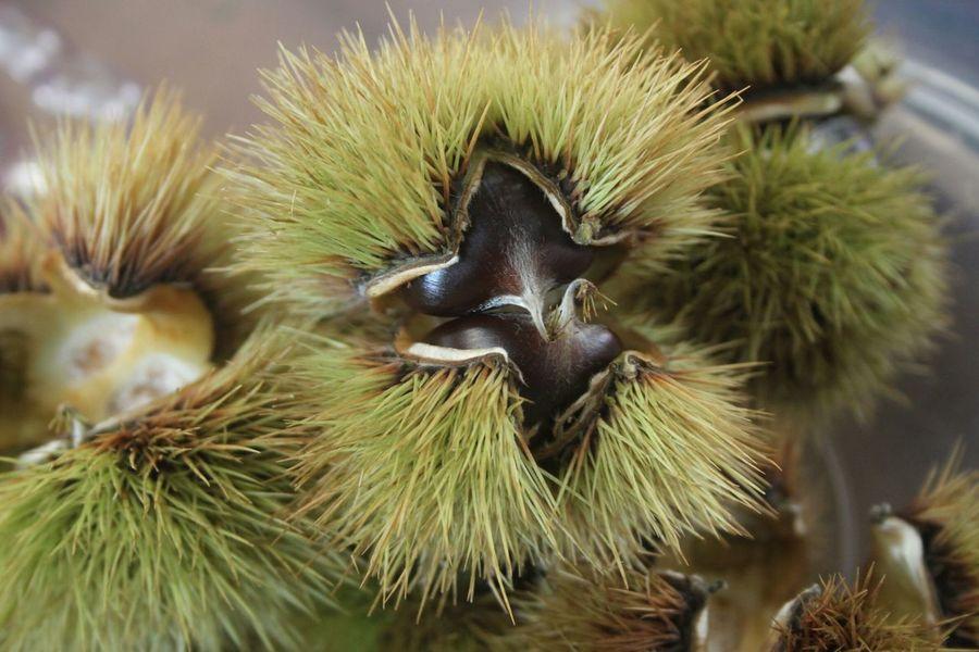 Kestane Chestnut