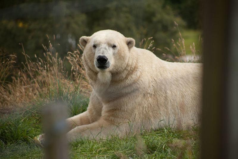 Polar Bear Animal Themes Captivity Fence Highland Wildlife Park Looking At Camera One Animal Outdoors Zoology