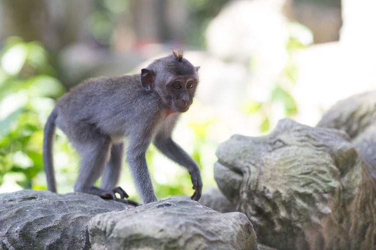 Close-up of monkey sitting on rock