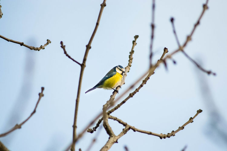 Low angle view of bluetit perching on branch against sky
