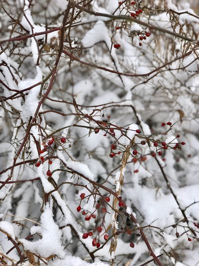 Berries and newly fallen snow Berries Collection Snow Winter Cold Temperature Branch Nature Weather White Color Beauty In Nature Environment Tranquil Scene Backgrounds Outdoors Frozen Snowing Beauty Forest