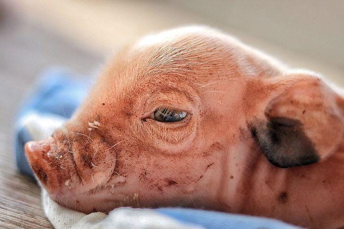 Pigs♥ Pig Nature BabyPig Close-up Mammal No People Day Outdoors