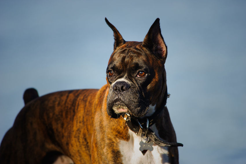 Brindle dog portrait Boxer Boxer Dog Dogs Animal Themes Brindle Cropped Ears Day Dog Dog Photography Domestic Animals Male Mammal Nature No People One Animal Outdoors Pets Photography Portrait