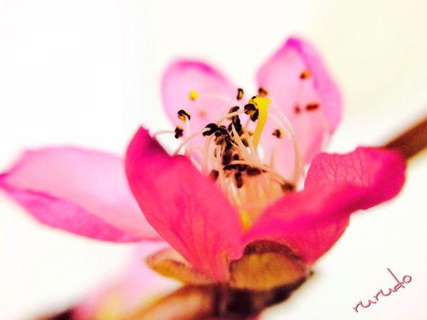 三月 三日 雛祭り ♡ Flowers Flower Collection Pink Peach Blossom Pastel