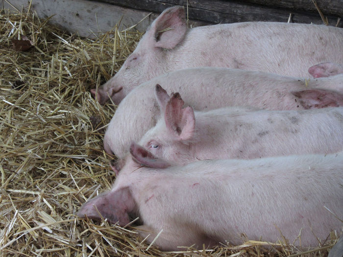 Pink piglets lying down on straw Animal Barn Domestic Animals Fat Group Of Animals Ham HOG Husbandry Lying Down Mammal Newborn Nose Piglets PigPen Pigs Pink Pork Rest Resting Sleeping Snout Sow Straw Swine Togetherness