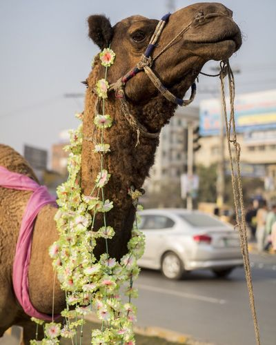 Camel with garlands by road in city