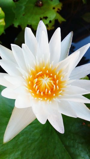 Beautifully Organized Petal Beauty In Nature Nature Flower Flower Head White Color Growth Close-up Freshness Plant Fragility No People Pollen Outdoors Day