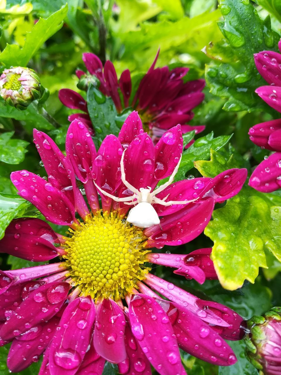 flowering plant, flower, plant, beauty in nature, vulnerability, fragility, freshness, growth, petal, flower head, inflorescence, close-up, water, drop, wet, nature, pink color, no people, pollen, outdoors, raindrop, dew, purple, purity