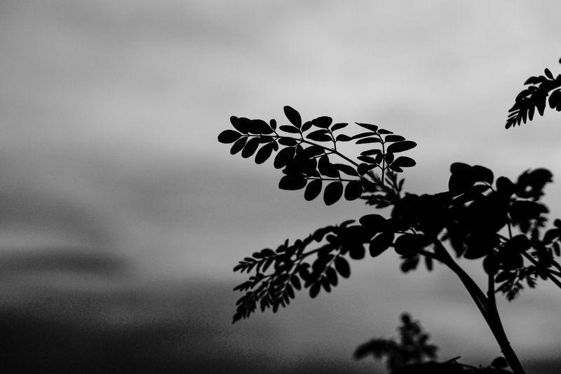 Grey Grey Shade Leaves🌿 Shillouette Blackandwhite Getty Images Getty & Eyeem