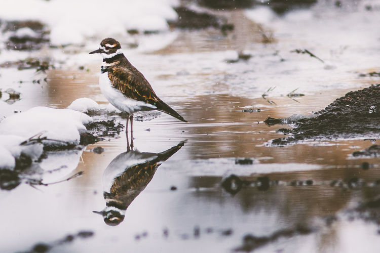 Bird Vertebrate Animal Animal Themes Animal Wildlife One Animal Animals In The Wild Water Cold Temperature Winter Reflection Snow No People Nature Lake Day Selective Focus Perching Outdoors