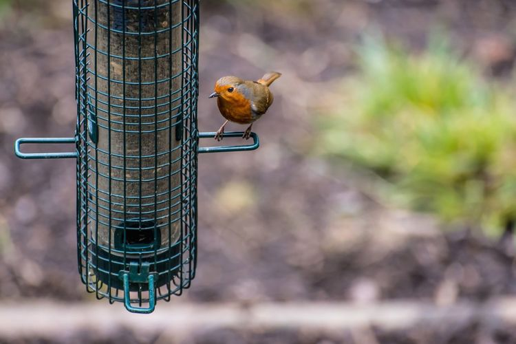 Close-up of robin perching on feeder