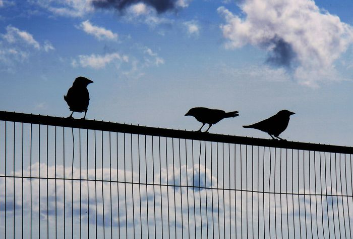 Birds On A Wire Raven Silhouette Silouette & Sky The Week On EyeEm Animal Silhouette Animal Themes Animals In The Wild Bird Birds Birds Silhouette Blue Cloud - Sky Low Angle View Nature Raven - Bird Silhouette Sky Skyblue The Week On EyeEm