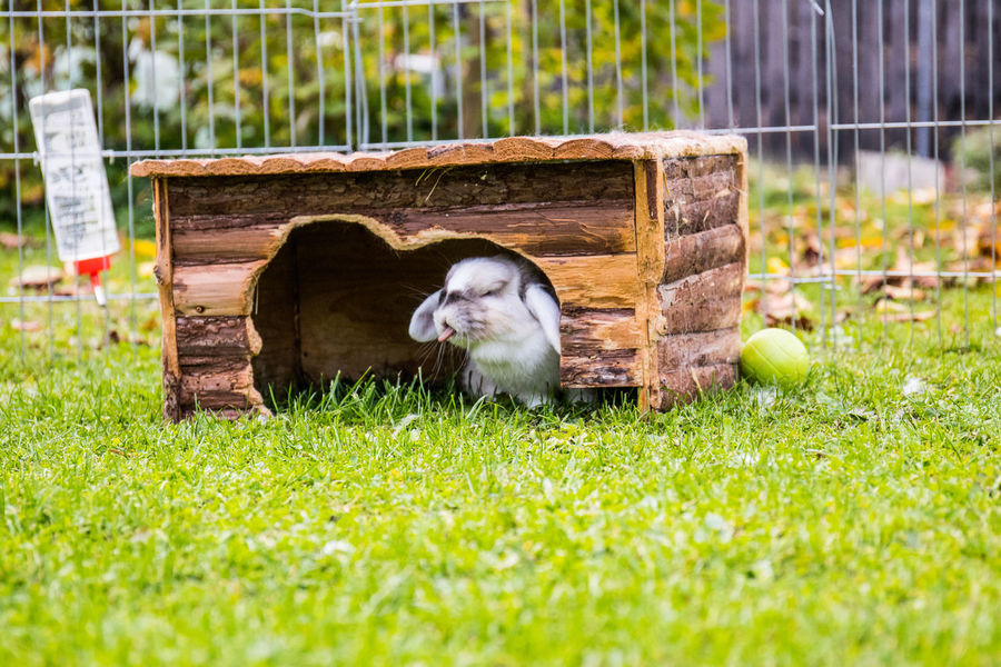 Animales Haustier Kaninchen Liebre Sitting Sunlight Sunny Tiere Animal Themes Animals Conejo Day Domestic Animals Grass Hase Mammal One Animal Outdoors Pets Rabbit Zwergkaninchen  ZUNGE Zunge Raus Sticking Out Tongue Tongue