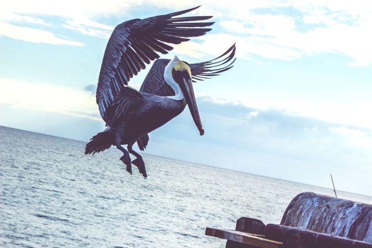California Oceanside OceansideCA Birds Pelican Flight